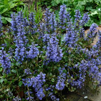 アジュガの花