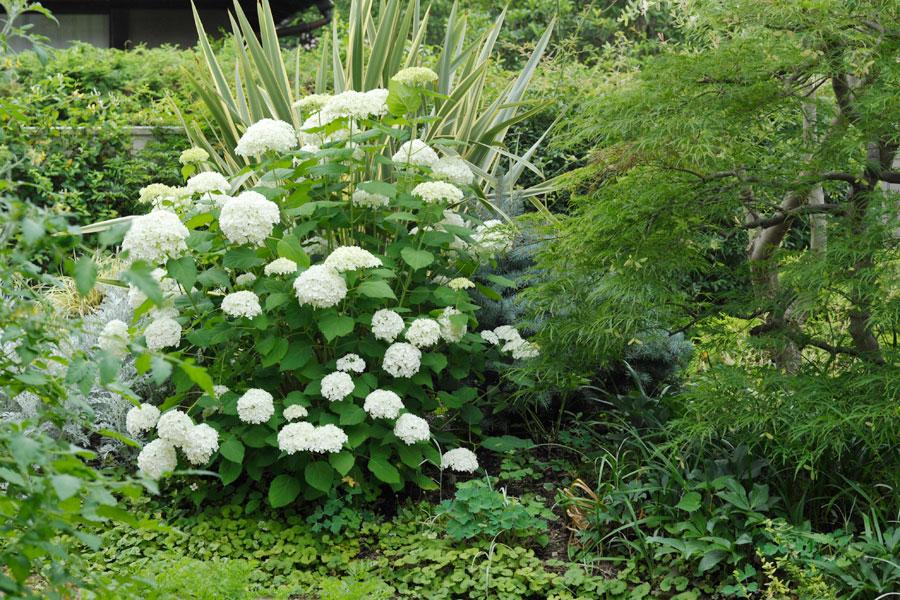 アナベルの咲くHさんのお庭