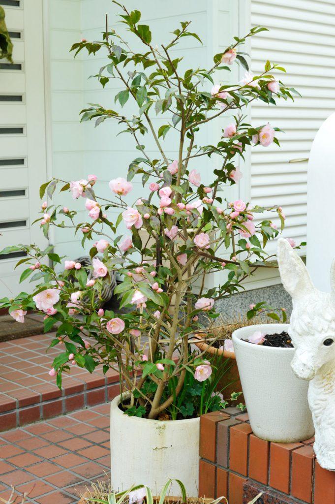 冬に花をつけたツバキの木