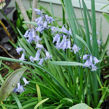 イングリッシュ・ブルーベルの花