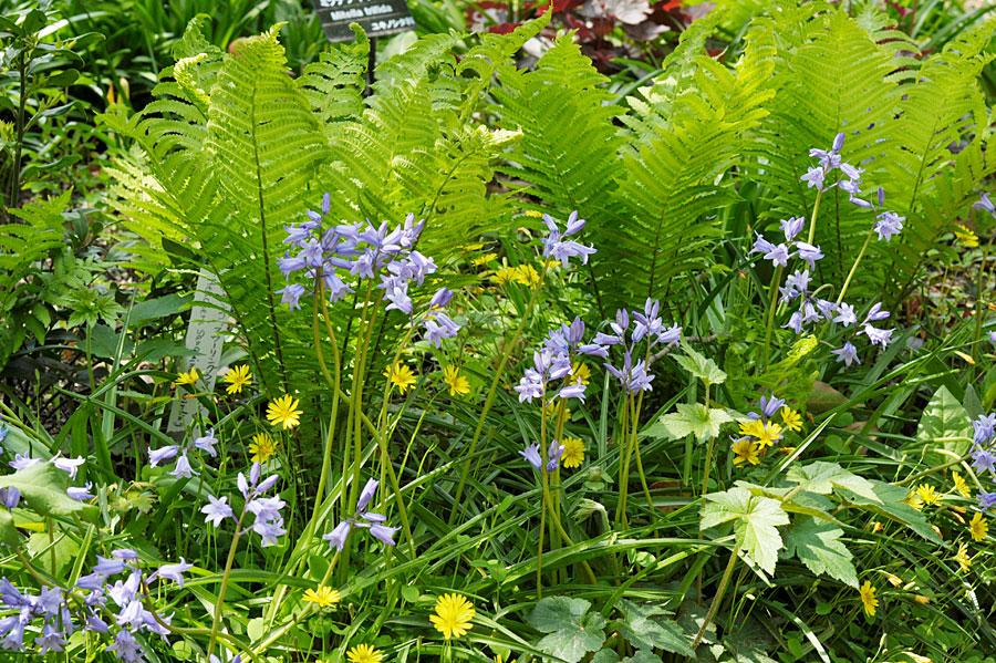 イングリッシュ・ブルーベル の花が咲くシーズンズの花壇