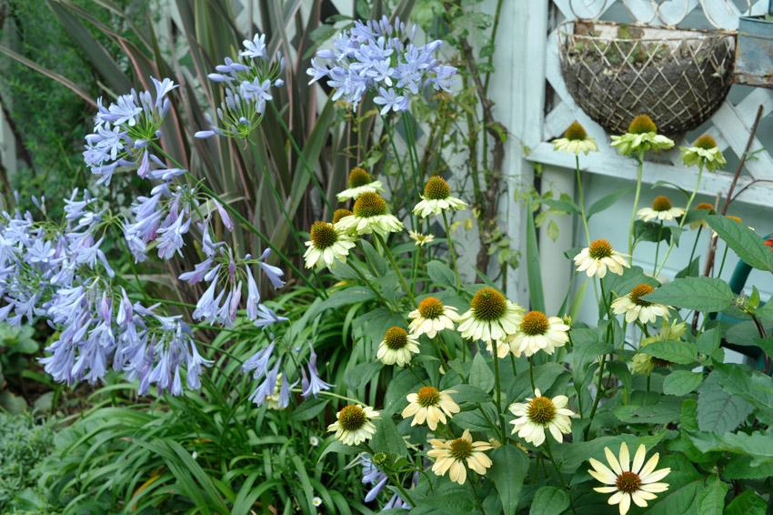エキナセアの咲くわが家の裏庭