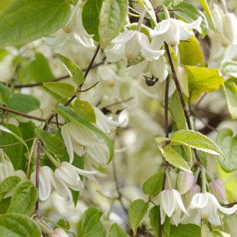 冬咲きクレマチスの花
