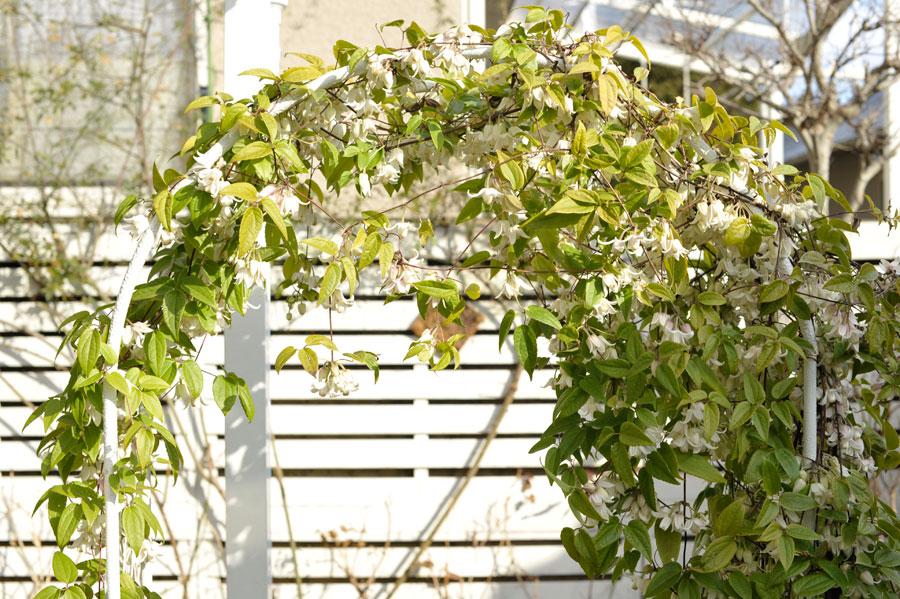 庭のアーチに育てた冬咲きクレマチス