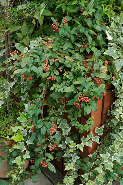 冬に赤い実を付けたコトネアスター