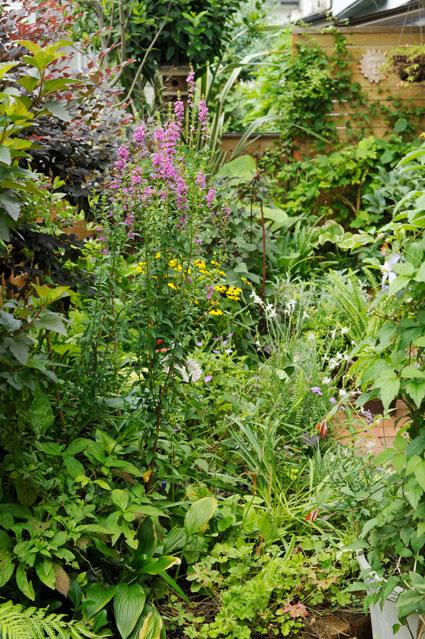 ミソハギの咲くわが家の夏花壇