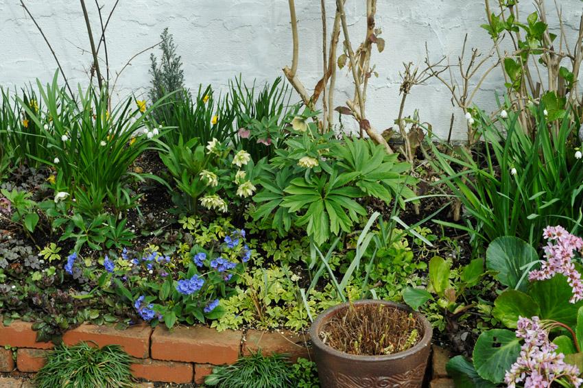 プルモナリアの咲く3月の花壇