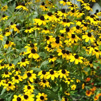 ルドベキアタカオの花