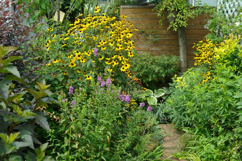 ルドベキアタカオの咲く8月の裏庭