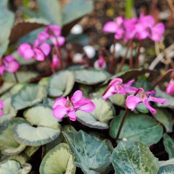 シクラメンコウムの花