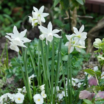 春4月に花壇で咲くスイセン 'タリア'