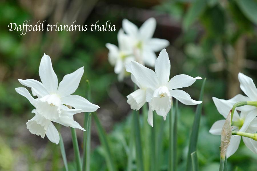 スイセン 'タリア' の花