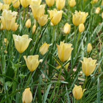 バタリーニの花