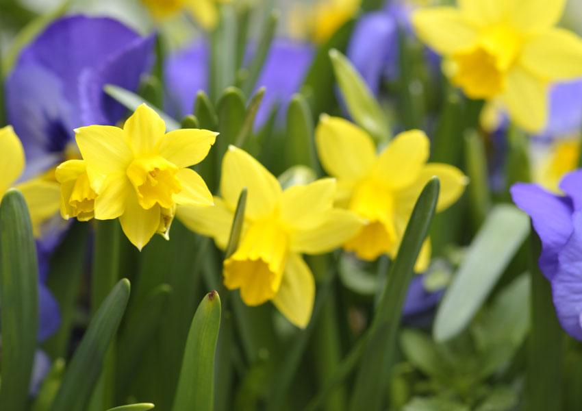 ータテートの花