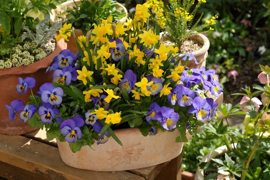 早春の3月コンテナで咲くテータテート