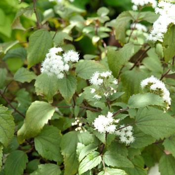 パトリウム'チョコラーテ'の花