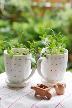 クローバーのマグカップ植え