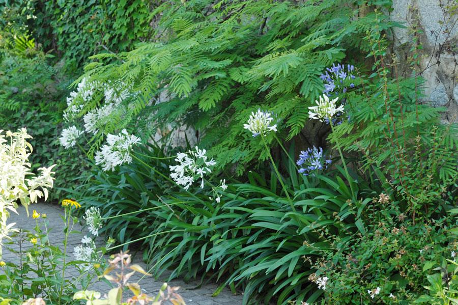 アガパンサスが咲くシーズンズの花壇