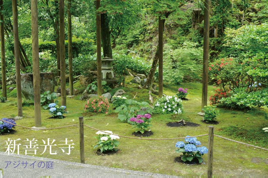 新善光寺の前庭に植栽したアジサイ