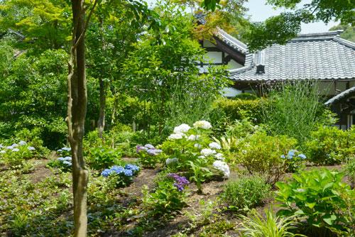 アジサイの丘の植栽 - 一番奥の背の高い植物は三尺バーベナ